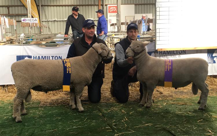 Champion & Reserve Southdown Rams at Sheepvention 2019