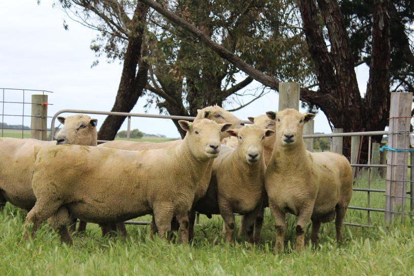 Nedelle Downs Southdown Stud | Performance Based Flock